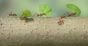 12814-Leaf-cutting-Ants